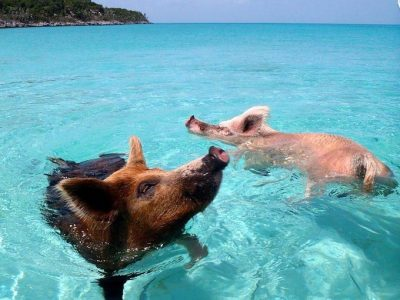destination Pig beach bahamas